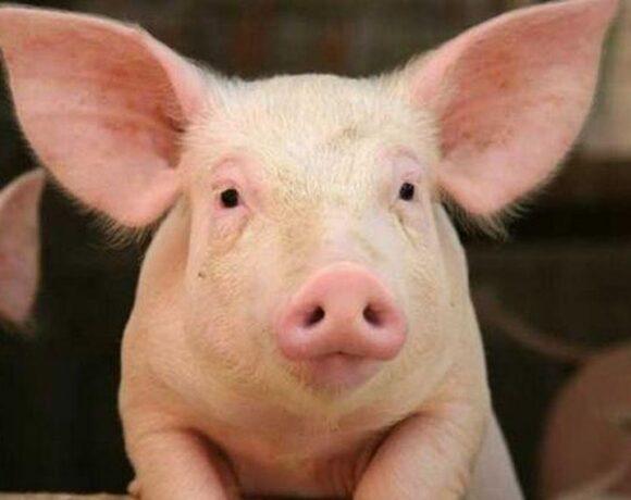 Στα αζήτητα εκατομμύρια γουρούνια – Κινδυνεύουν να σφαγιαστούν