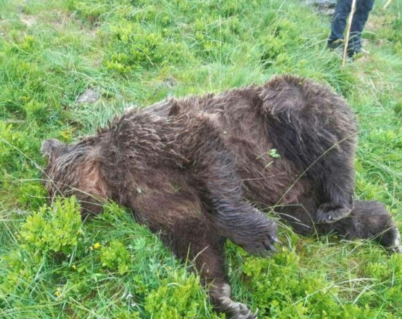 Αρκούδα νεκρή από σφαίρες στα Πυρηναία