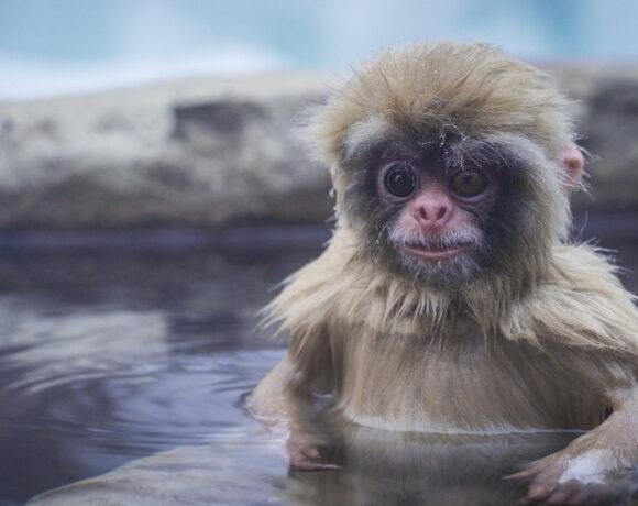 Μαϊμού – ρομπότ μας φέρνει μοναδικά πλάνα από τη ζωή των ιαπωνικών μακάκων