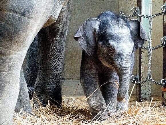 Γεννητούρια στο ζωολογικό κήπο του Τόκιο : Το πρώτο ελεφαντάκι μετά από 138 χρόνια