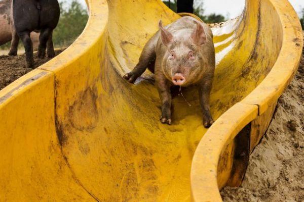 Βρετανία: Σκοτώνουν χοίρους με σφυριές στο κεφάλι [Σοκαριστικές εικόνες]