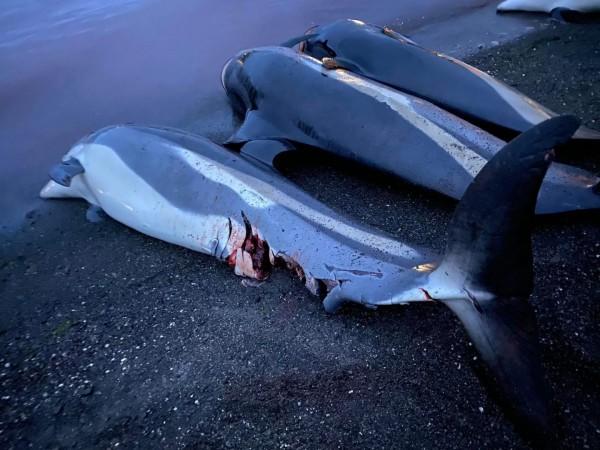 Νησιά Φερόε – H θάλασσα βάφτηκε ξανά «κόκκινη» – Σφαγιάστηκαν άλλα 52 δελφίνια